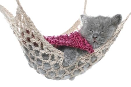 Cute gray kitten under a blanket asleep in a hammock on a white background