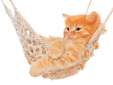 carroty: Cute red-haired kitten in hammock on a white background.