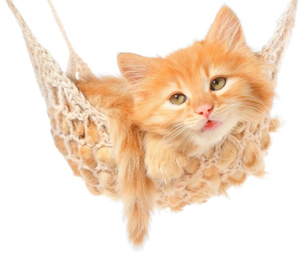 Cute red haired kitten in hammock on a white background. photo