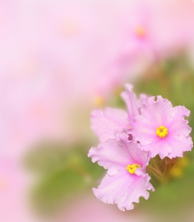 Image of pink violets on a beautiful soft background. photo