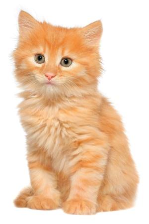 kotek: Pomarańczowy kotek siedzi na białym tle.