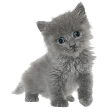 seguir adelante: Peque�o gatito gris que adelante aisladas sobre fondo blanco.