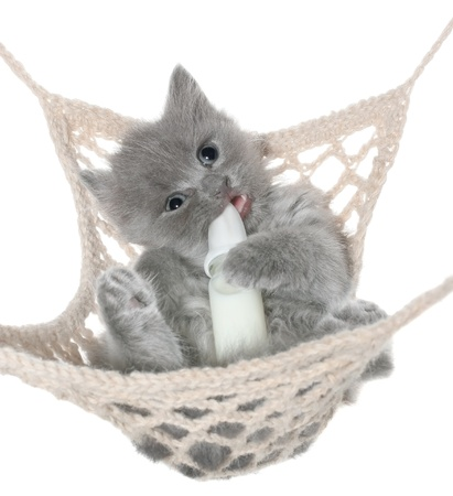 Cute gray kitten sucks milk bottle in a hammock top view on a white background. photo