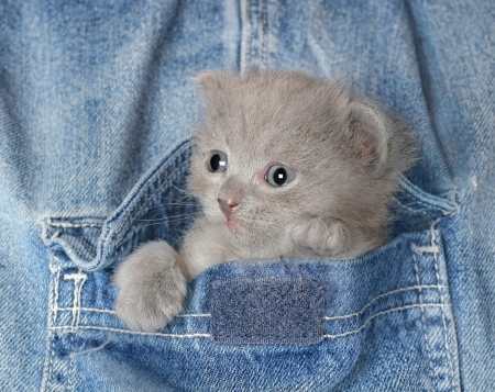 Small gray kitten in Jeans pocket close up. Stock Photo