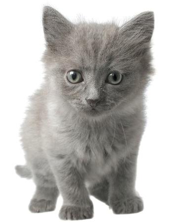 seguir adelante: Peque?o gatito gris que adelante aisladas sobre fondo blanco.