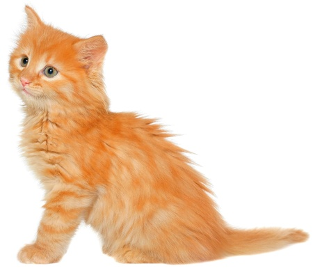 carroty: Orange kitten sitting isolated on white background. Stock Photo