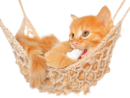 Cute red-haired kitten in hammock on a white background. photo