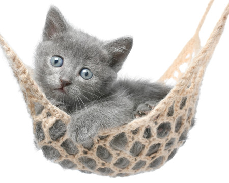 Cute gray kitten lying in hammock on a white .