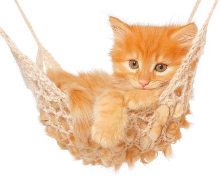 Cute red-haired kitten in hammock on a white . Reklamní fotografie