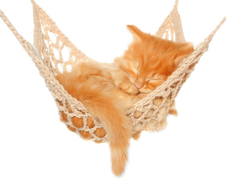 carroty: Cute red haired kitten sleeping in hammock on a white background.