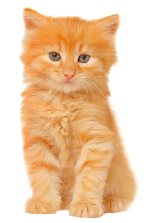Orange kitten sitting isolated on white background. Stock Photo