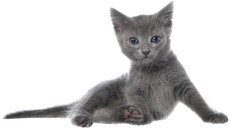 gray haired: Small gray long haired kitten lay on white background.