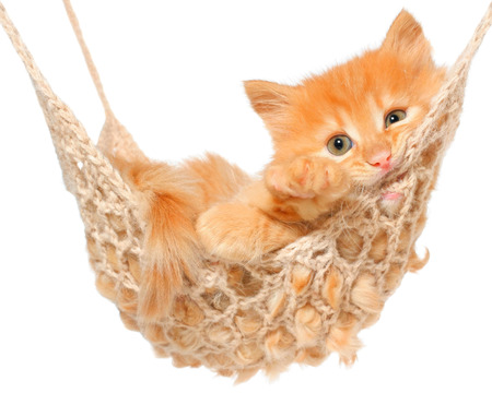 longhaired: Cute red haired kitten in hammock on a white background.