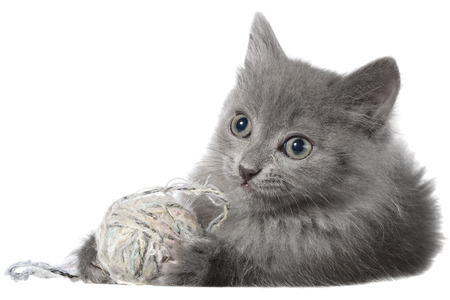 long haired: Small gray long haired kitten lay and plays with ball of yarn on white background.