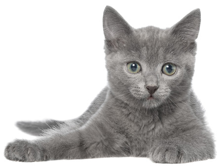 Small gray kitten lay isolated on white background. Stock Photo