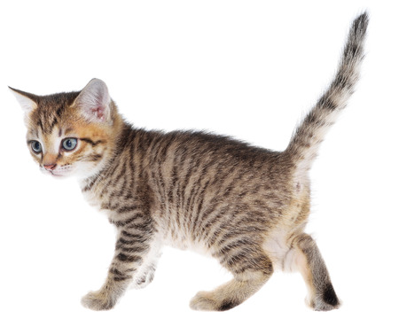 brindled: Shorthair brindled kitten goes isolated. Stock Photo