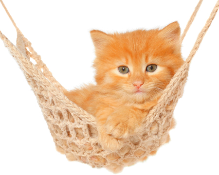 haired: Cute red haired kitten in hammock on a white background.
