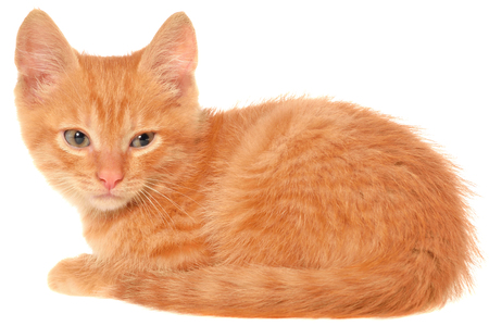 lays: Orange kitten lays on a side view isolated. Stock Photo