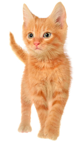 Orange kitten goes on a isolated. Stock Photo