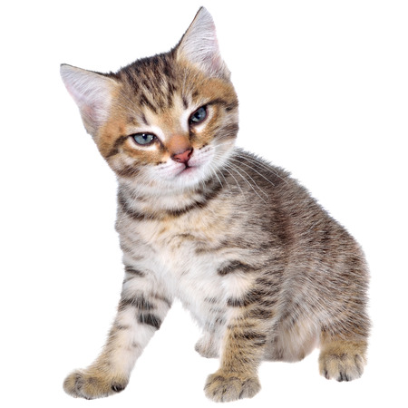 brindled: Angry shorthair brindled kitten on a white background. Stock Photo
