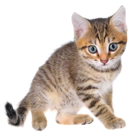 playful: Shorthair brindled kitten playful isolated.