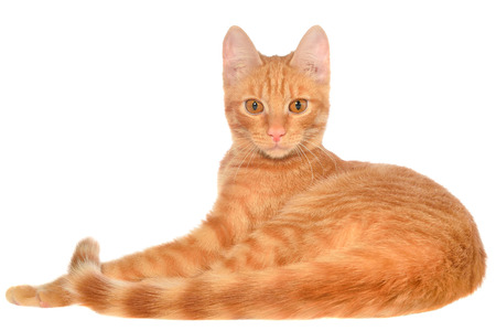 carroty: Orange kitten lays on a side view isolated. Stock Photo