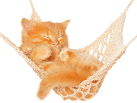 red haired: Cute red haired kitten sleeping in hammock on a white background.