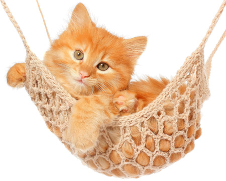 carroty: Cute red haired kitten lay in hammock on a white background. Stock Photo