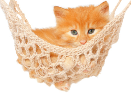 carroty: Cute red haired kitten in hammock on a white background.
