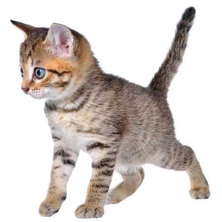 Shorthair brindled kitten crawling sneaking isolated.