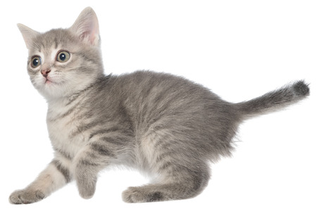 frisky: British shorthair tabby kitten funny isolated. Stock Photo