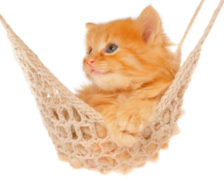 red haired: Cute red haired kitten in hammock on a white background.