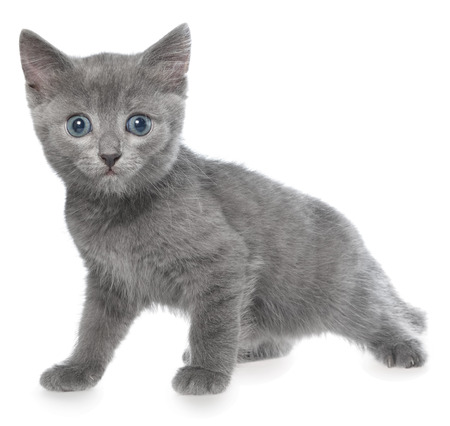 frisky: Small kitten playing on a white background