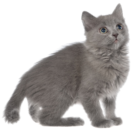 gray haired: Small gray long haired kitten playing isolated on white background. Stock Photo