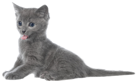 gape: Small gray long haired kitten lay and yawn on white background. Stock Photo