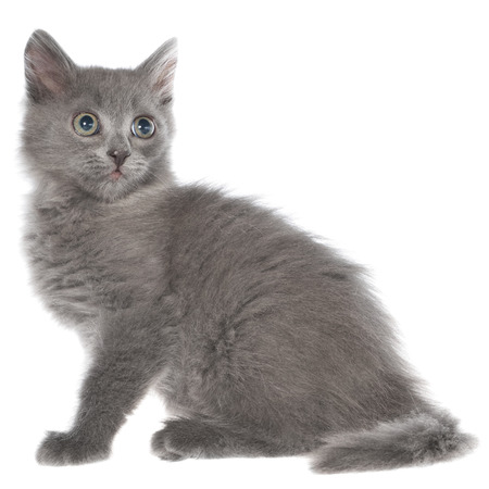 long haired: Small gray long haired kitten sitting isolated on white background. Stock Photo