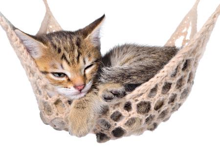 brindle: Short Hair brindle kitten sleep in hammock on a white background. Stock Photo