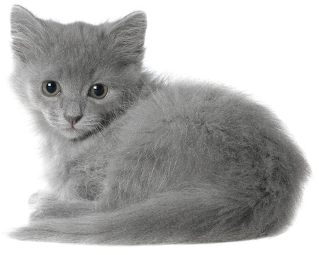 haired: Small gray long haired kitten sitting isolated on white background. Stock Photo