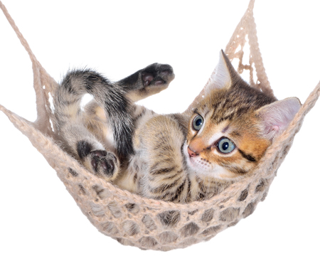 brindle: Short Hair brindle kitten lay in hammock on a white background. Stock Photo