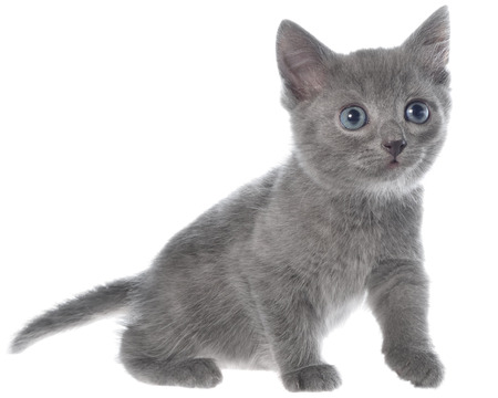sneaking: Small kitten crawling sneaking on a white background Stock Photo