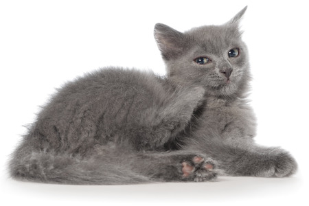 long haired: Small gray long haired kitten lie on a white background.