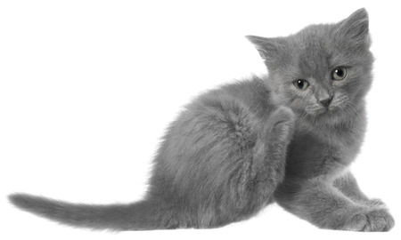 long haired: Small gray long haired kitten sitting and itches isolated on white background.