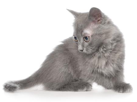 frisky: Frisky small kitten on white background.