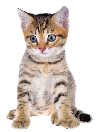 brindled: Shorthair brindled kitten on a white background. Stock Photo