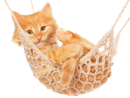 red haired: Cute red haired kitten lie with in hammock on a white background.