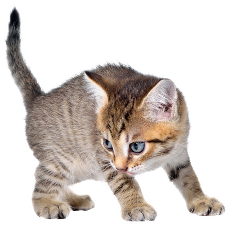 animal mouth: Shorthair brindled kitten crawling sneaking isolated.