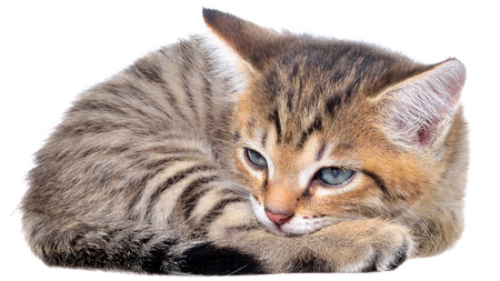 brindle: Short Hair brindle kitten sleep on a white background.