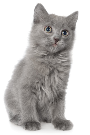 long haired: Small gray long haired kitten sitting on white background.