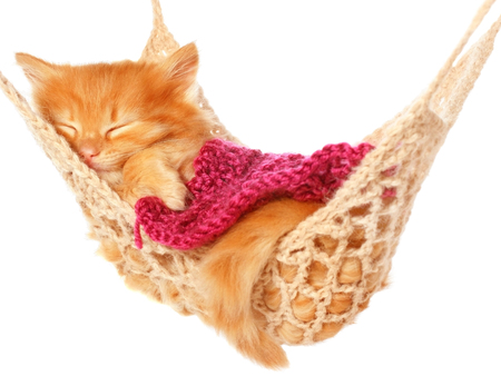 carroty: Cute red haired kitten sleeping under blanket in hammock on a white background.