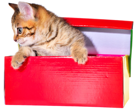 brindled: Shorthair brindled kitten in a colorful box isolated on a white background. Stock Photo